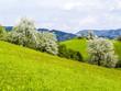 Birnbaum, Blüte Wiese, Österreich, NIederösterreich, Mostvier