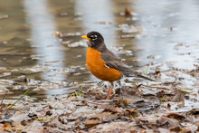 Close Up Of American Robin On Wet Leaves Near Water