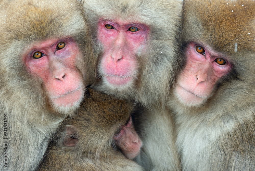 Japanese macaques. Close up  group portrait. The Japanese macaque ( Scientific name: Macaca fuscata), also known as the snow monkey. Natural habitat, winter season.