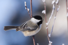 Black-capped Chickadee On A Co...