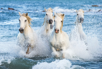 Fototapeta Morze White Camargue horses galloping on the blue water of the sea with splashes and foam. France.