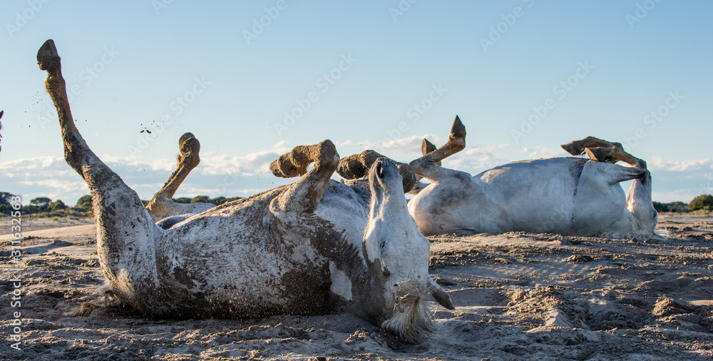 The white horse rolls in sand and dust. White camargue horses on his habitat Parc Regional de Camargue - Provence, France