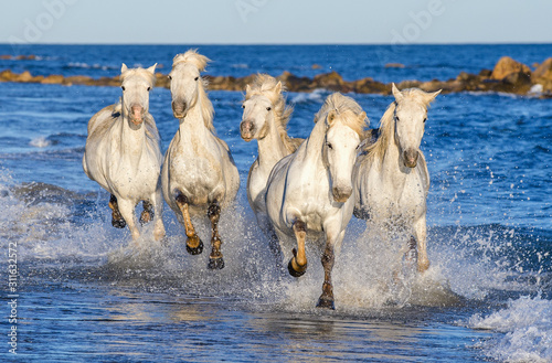 Fotografía White Camargue horses galloping on the blue water of the sea with splashes and foam