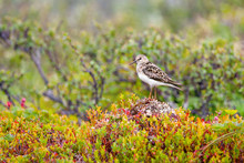 Sandpiper Sparrow Resting On A...