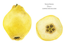 Fresh Yellow Quince Fruit And ...