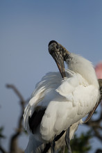 An Ugly American Wood Stork Pr...