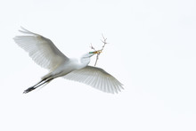 A Great Egret In Flight With N...