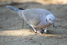 Eurasian Collared Dove Is Making Nest