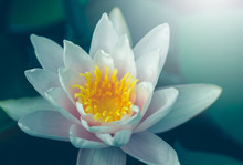 Vivid Water Lily Blooms In Gar...