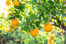 Citrus Fruit Growing On Tree