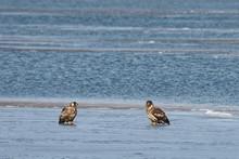 Eagles Sitting On Sea Ice Floe...
