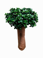 Small Garden Tree With Leaf(To...