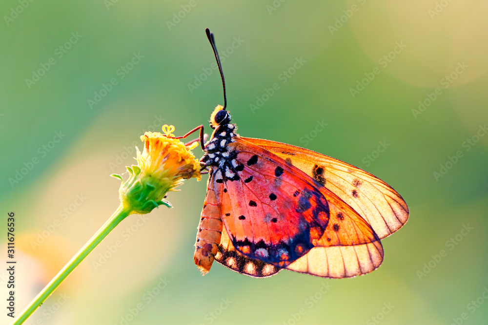 Fototapeta butterfly on the flower in early morning