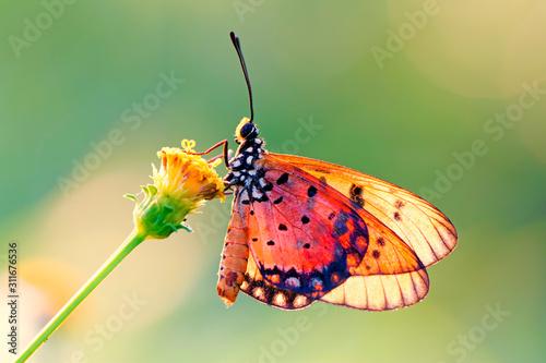 Fototapeta butterfly on the flower in early morning obraz