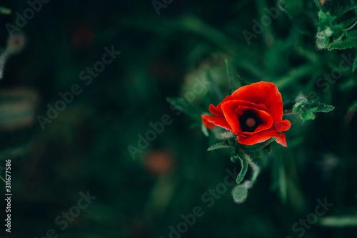 lonely wild poppy flower in green grass top view. soft focus.
