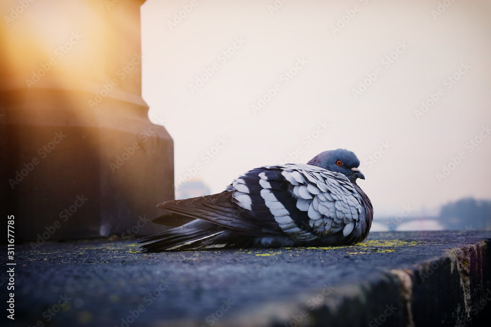 Gray Pigeon warming up at sun light over old antique stairs