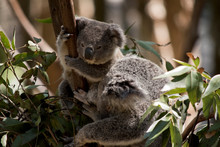 The Joey Koala Is Next To His ...