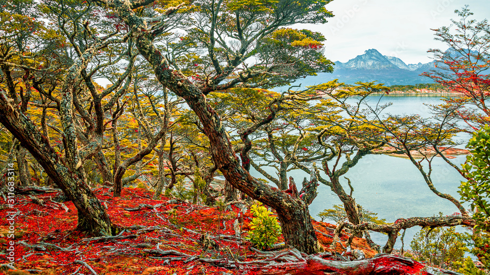 Fototapeta Magical austral forest in Tierra del Fuego National Park, Beagle Channel, Patagonia, Argentina, early Autumn