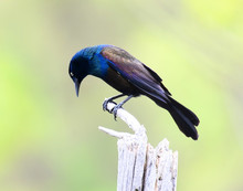 Common Grackle Standing On The...