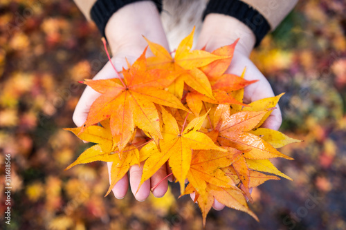 Female hands with maple leaf Canvas Print