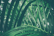 canvas print picture - tropical palm leaf, green nature background