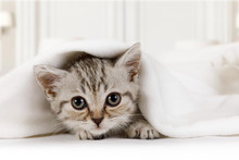 Cute Little Kitten Looks Out From Under The Blanket