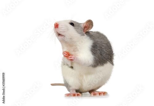 Fotografia, Obraz Little cute rat sits on its hind legs