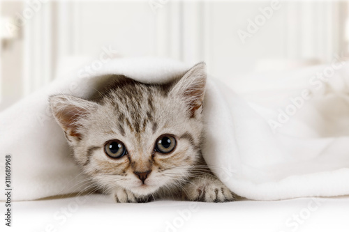 Carta da parati Cute little kitten looks out from under the blanket