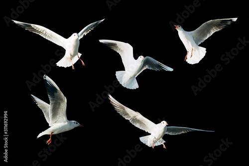 Photo Set of sea gulls isolated on a black background.