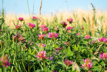 Red Clover. Clover Flowers On A Background Of Green Leaves.