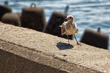 A Small Mottled Seagull Stands Against The Sea