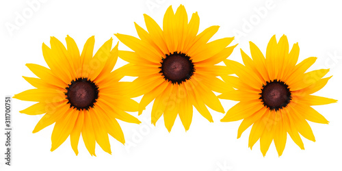 Fotografering Floral decoration - three perfect blooming flowers head with yellow petals isolated on a white background in close-up