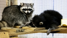 Raccoon Pet Sleeping In A Cage...