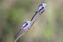 Two Long Tailed Tits On Branch.