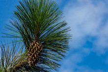 Branch Of The Giant Pine Coulter (Pinus Coulteri) With Long Needles And A Huge Cone Against Blue Sky In Crimea In Masandra Park. Selective Focus. There Is Place For Text.