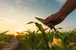 Leinwanddruck Bild - Farmer is examining corn crop plants in sunset