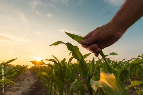 Leinwand Poster Farmer is examining corn crop plants in sunset