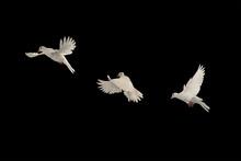 Three White Doves Flying On Bl...