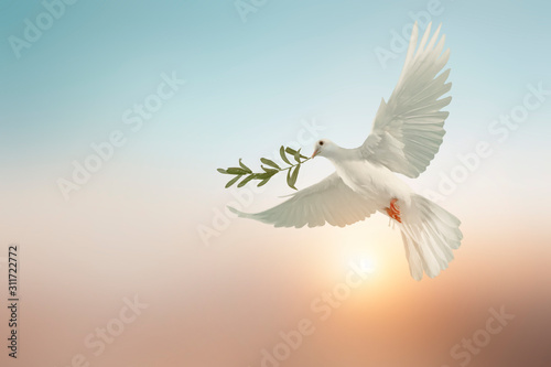 Fotografie, Obraz white dove or white pigeon carrying olive leaf branch on pastel background and c
