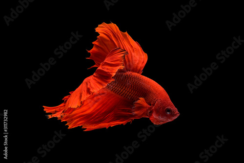Photographie  Red betta fish, Siamese fighting fish was isolated on black background with the action of aggressive to the other