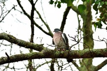 Turtledove On A Branch On A Tree