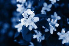 Jasmine Flower Bush In A Modern Classic Blue Color Of 2020 Year Closeup.