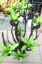Asplenium Nidus On Dry Branch