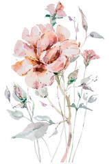Fototapeta Do jadalni Watercolor hand painted bouquet of peony flowers. Floral illustration on white background.
