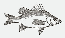White Perch, Morone Americana In Side View After An Antique Engraving From The 19th Century
