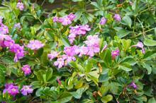 Shrub Of Bignonia Capreolata O...