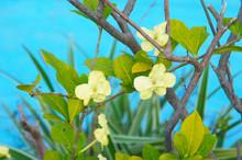 Brunfelsia Plicata Jamaicensis...