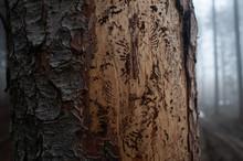 Barkbeetle Tree In A Forrest