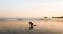 Sunrise Kangaroo