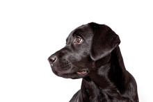 Dog Breed Black Labrador Puppy...